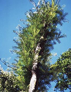 標高4000mにそびえ立つ樹高20mの巨木